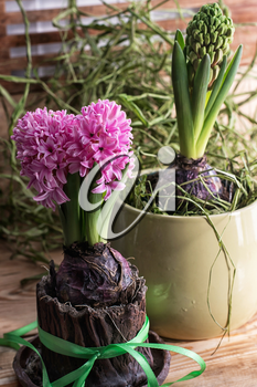 Young sprout pretty hyacinth on wooden background
