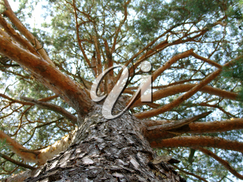 The large pine tree with beautiful branches, macro photography