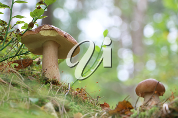 Large and small edible ceps growing in wood. White fresh mushrooms grow in forest. Beautiful bolete and vegetarian food