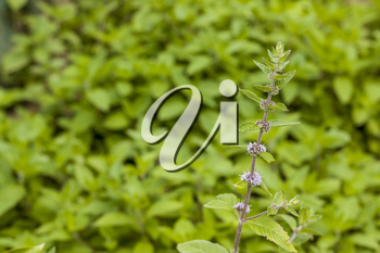 Mint plant with seeds. Spearmint herb leaves. Summer season peppermint plant background