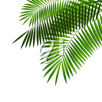 Palm Leaf. Isolated on White Background. Vector Illustration EPS10