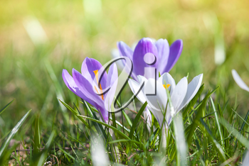 Colorful crocus flowers on the spring meadow, macro photo