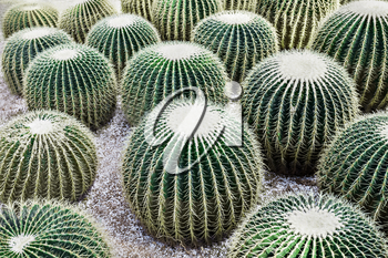 Echinocactus grusonii, popularly known as the Golden Barrel Cactus