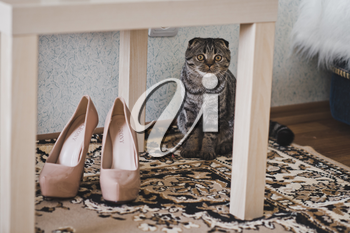 Cat sits near the shoes for the wedding.