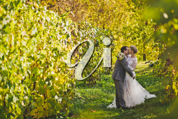 Charming bride walking among the manicured vines of grapes.