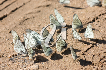 Many white butterflies is sitting on the brown sand under bright sunlight