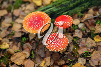 Amanita muscaria. Three red poisonous mushrooms in the autumn forest. Shallow depth of field. Selective focus.