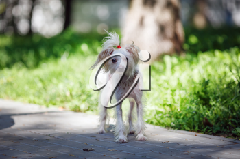 Chinese crested dog female walks outdoors. Selective focus.