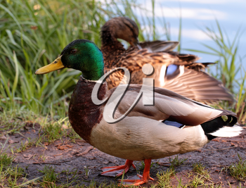 Male duck in the protection of female duck