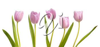 Set of five pink tulips isolated on white background