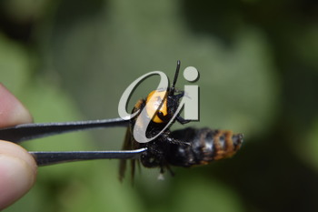 Megascolia maculata. The mammoth wasp. Wasp on Scola giant tweezers.