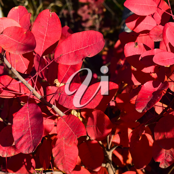 Autumn red color of leaves of cotinus coggygria. Paints of fall.