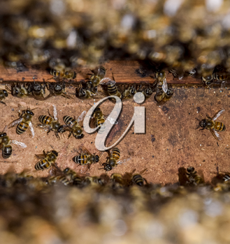 A beehive, a view from the inside. The bee-hut. Honey bee. Entrance to the hive. Honey bees on the home apiary. The technology breeding of honey bees.