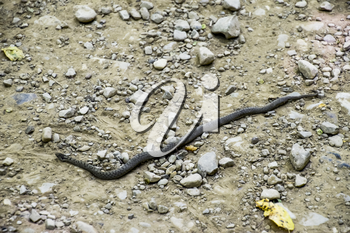Viper is ordinary. Snake on the road. The snake crawls along the ground with rocks