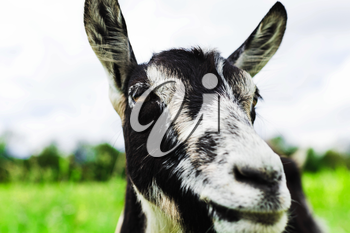 Beautiful closeup portrait of a goat on the background of nature