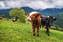 Cows on field. Agricultural farm landscape