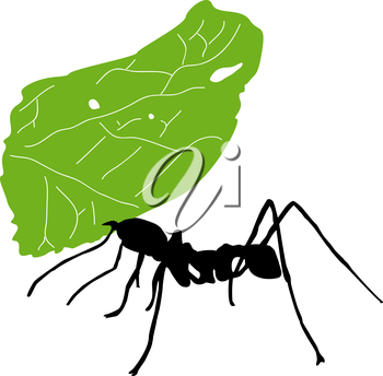 Leaf-cutter ant, Acromyrmex octospinosus, carrying leaf in front of white background.
