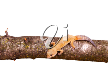 leopard gecko sitting on a branch isolated on white background