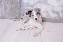 border collie, 3 months old, sitting on the floor with wooden sign Happy , flashlights