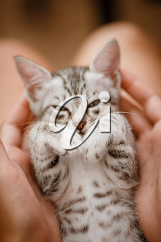 little cute home gray striped kitten in hand. Cute little kitten with owner at home, closeup. Very cute and funny emotions kitty