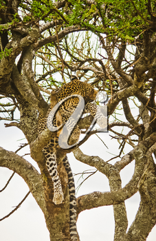 Leopard on a tree in its natural habitat in the African savannah. The predator of the cat family