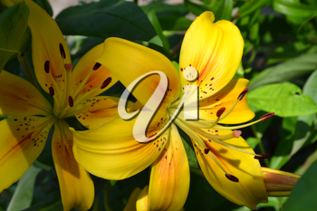 Lily yellow. Lilium. Lily flower closeup. Flowerbed