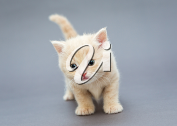 Small British kitten beige on gray background