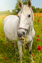 White horse grazing in a beautiful field among blooming poppies