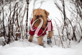 Dog of breed the brussels griffon  walks in the winter in a warm jacket and boots.