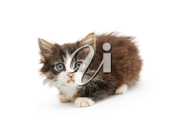 Little fluffy kitten with big blue eyes, isolated on white background