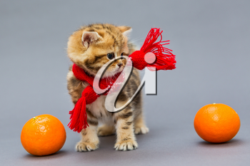 Little kitten British marble in a red scarf and a tangerine