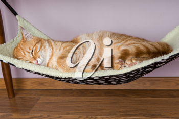 Calm red cat is sleeping in the hammock