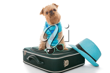 Dog breed Brussels Griffon and a travel suitcase, isolated on white