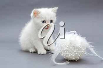 White British kitten and Christmas toy on grey background