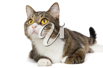 Portrait of a grey striped cat, white background