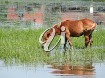brown horse drink water nature scene