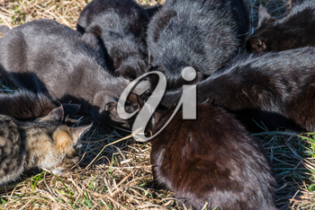 Group of black cats eating on the ground with green grass