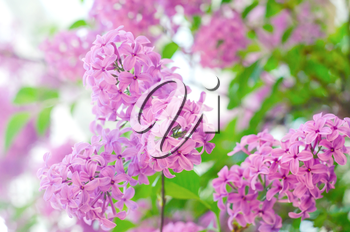 Purple lilac bush blooming. The beautiful fresh lilac violet flowers. Close up of lilac blossoms. Spring flowers.