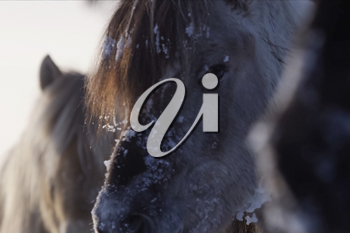 Yakut horses in the winter in the snow. The breed of Yakut horses.