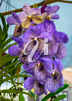 Beautiful tropical flowers violet blue orchid Vanda coerulea