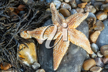 Common Starfish (Asterias Rubens) Washed Ashore at Dungeness