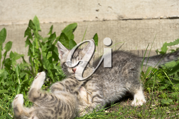 Cute grey striped kitten playing outdoor at the sunny day.