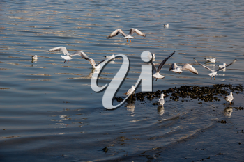 Gruop of seagulls swim calmly on the sea surface