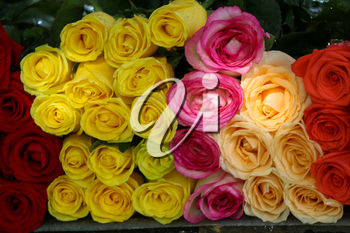 Beautiful fresh roses in nature background
