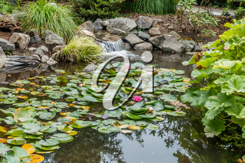 A view of a pond with pink lillies in Seatac, Washington.
